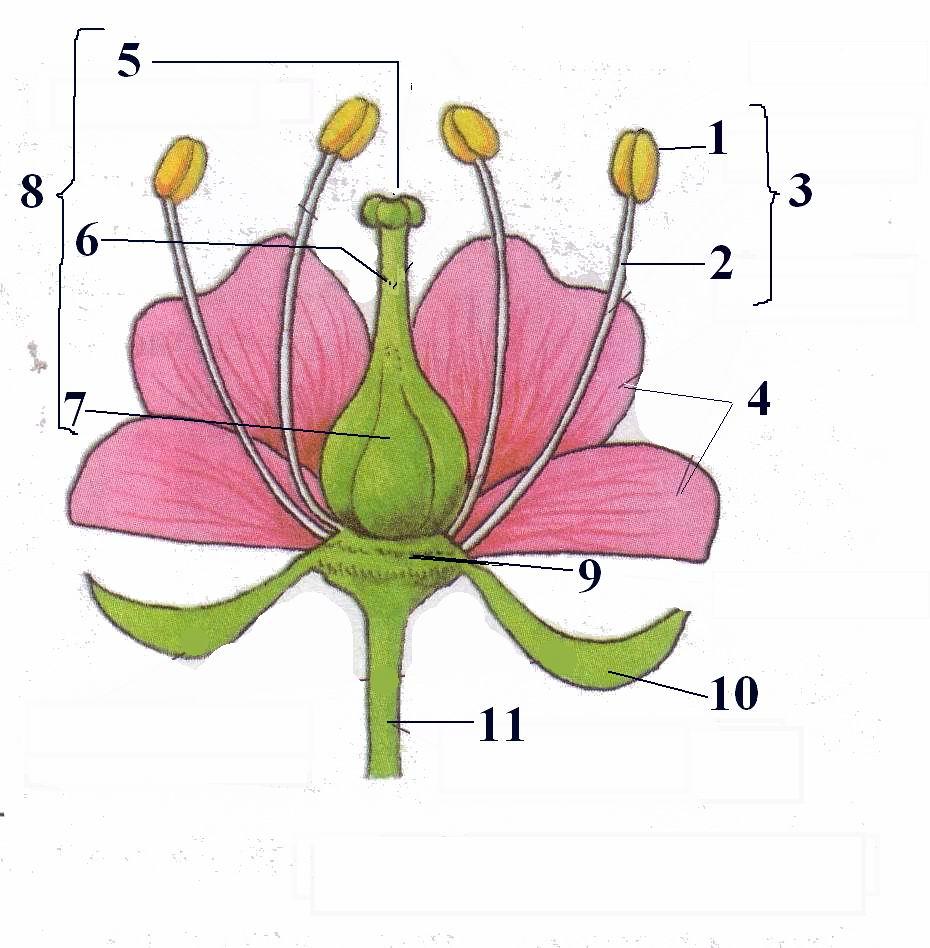 Биология 6 класс. строение цветка